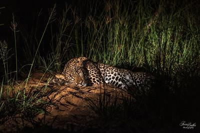 Leopards_1297