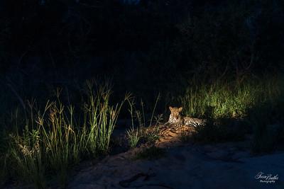 Leopards_5385