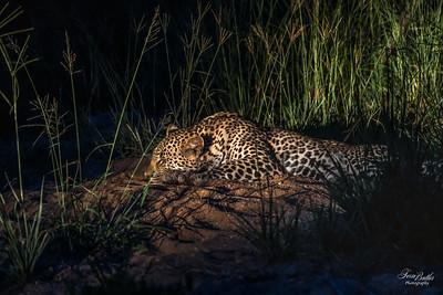 Leopards_1255