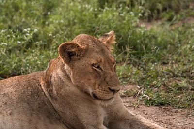 Lion_1028