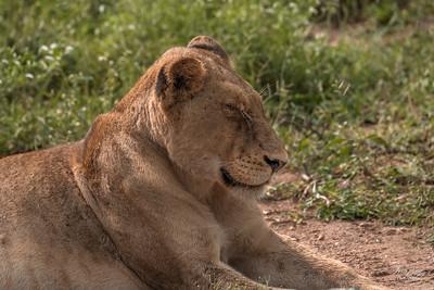 Lion_1014