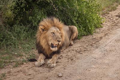 Lion_4839