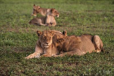 Lion_1364