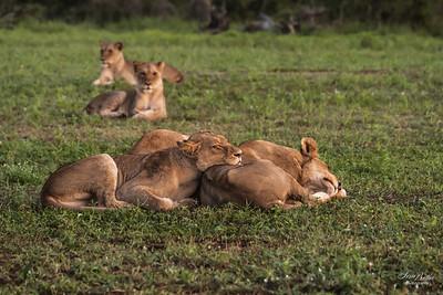 Lion_1388