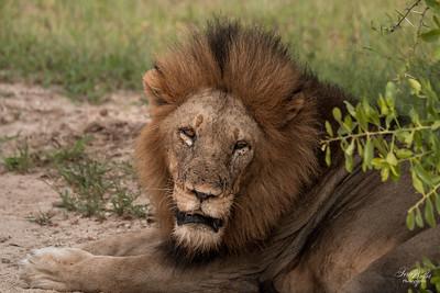 Lion_0673