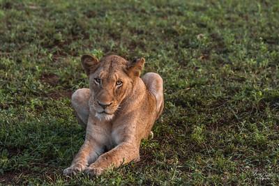 Lion_1399