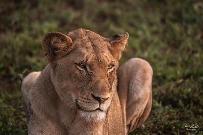 Lion_1358