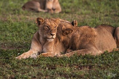 Lion_1361