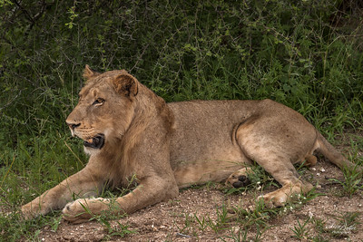 Lion_0700