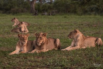 Lion_1324