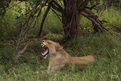 Lion_0696