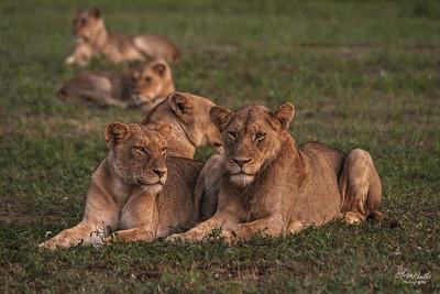 Lion_1353-Edit
