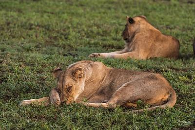 Lion_1414