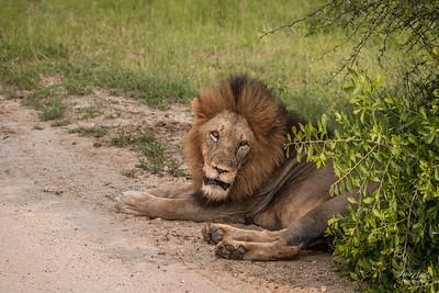 Lion_0680