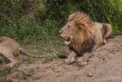 Lion_4833