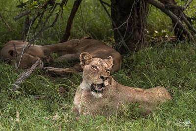 Lion_0654