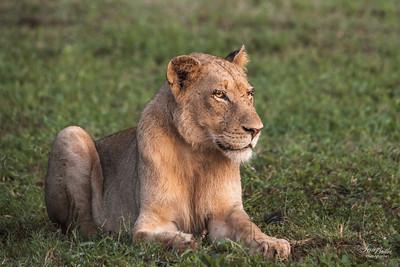 Lion_1380