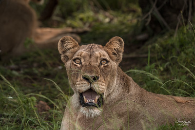Lion_0660