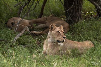 Lion_0653