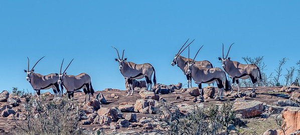 These Gemsbok scurried to the top of this hill before turning for a photo op