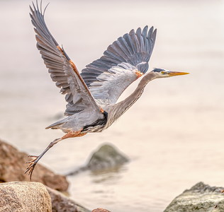 Tri-colored Heron lift off