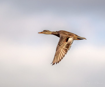 Gadwall hen up off the water