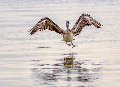 Brown Pelican full flaps and gear down