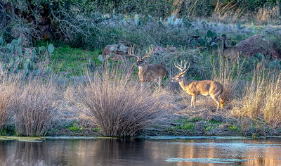 Four bucks came to water in the evening, here are three of them