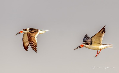 Black Skimmers descending