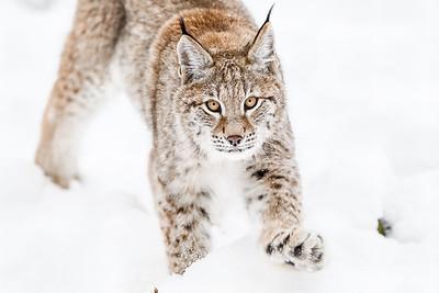 Lynx, Kincraig Wildlife Park