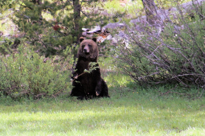 Grizzly watching a bear jam