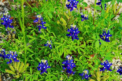 Washington County wildflowers along FM 1155
