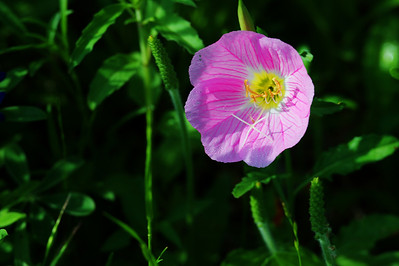 Washington County wildflowers; Pink Evening Primrose