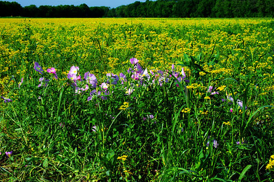 Washington County wildflowers along FM 1155