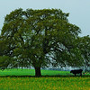 Tree and cow Goliad County