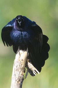 Great-tailed Grackle displaying for a female [April; Krenmueller Farms, Lower Rio Grande Valley, Texas]
