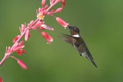 Ruby-throated Hummingbird visits Texas Red Yucca Hesperaloe parviflora pink flower [April; Krenmueller Farms, Lower Rio Grande Valley, Texas]