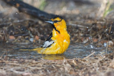 Bullock's Oriole is the western cousin of the Baltimore Oriole  [April; Sick Dog Ranch near Alice, Texas]
