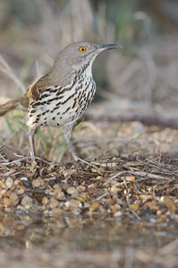 Long-billed Thrashers live furtively in the brush but do come out for water [April; Sick Dog Ranch near Alice, Texas]