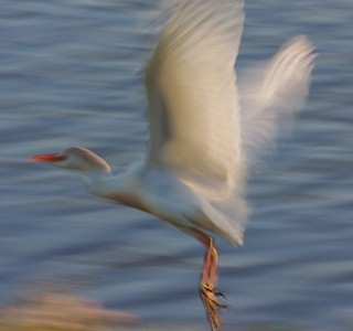 Cattle Egret takes off  [April; Sick Dog Ranch, near Alice, Texas]