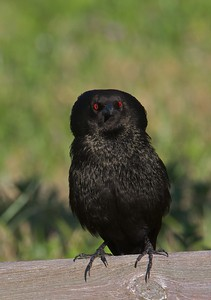 Part of the male Bronzed Cowbird's courtship display is the fluffing of his head feathers while calling [April; Sick Dog Ranch, near Alice, Texas]