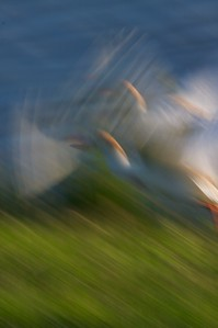 Cattle Egrets take off  [April; Sick Dog Ranch, near Alice, Texas]