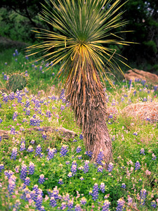 Yucca & Bluebonnets