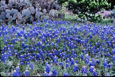 Bluebonnets&Cactus
