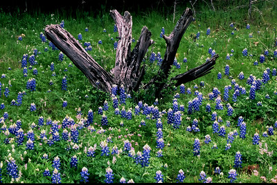 Old cedar stump in a bath of bluebonnets