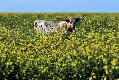 Longhorn-Flowers
