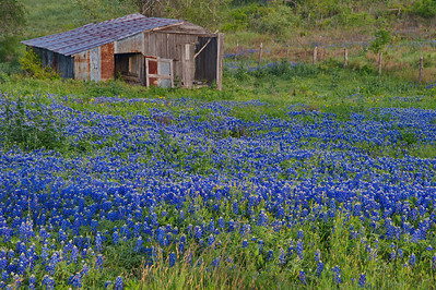 Wildflower_Trip_2014_Old_Shed_Bluebonnets_RAW9269