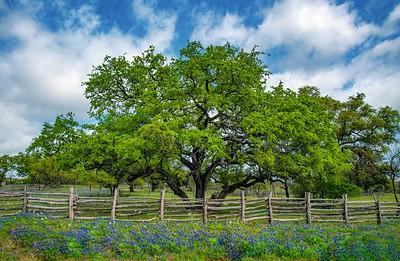 Oak_Tree_&_Fence_&_Bluebonnets_750_0578adont fence me inX