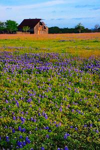 Wildflower_Trip_2014_Bluebonnets_Old-Barn_Vertical_RAW9263