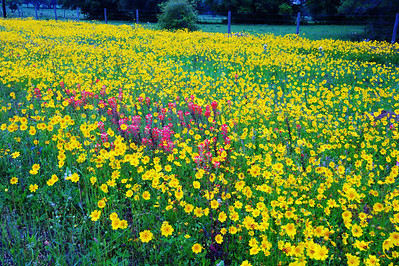 Coreopsis and Paintbrushes